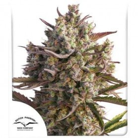 Semillas Auto Blueberry