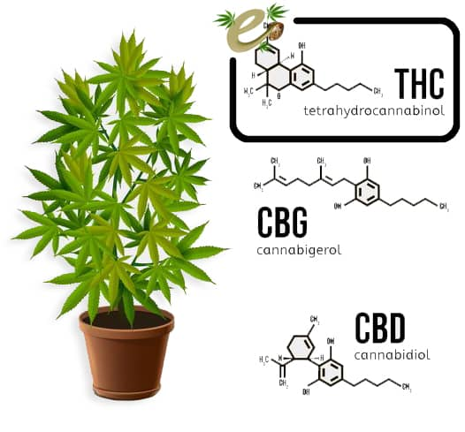 THC-efecto-semilla-c.jpg
